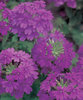 Superbena® Purple - Verbena hybrid
