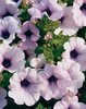 Supertunia® Mini Blue Veined - Petunia hybrid