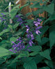 Black & Blue - Salvia guaranitica
