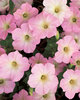 Supertunia® Mini Appleblossom - Petunia hybrid