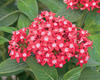 Butterfly Red - Pentas