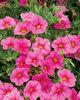 Superbells® Pink - Calibrachoa hybrid