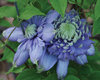 Vanso Blue Light® - Queen of the Vines - Clematis hybrid