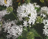 Butterfly White - Pentas