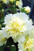 Spring Celebrities Lemon - Hollyhock - Alcea rosea annua