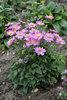 'Curtain Call Pink' - Japanese Anemone - Anemone hybrid