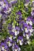 Angelface® Wedgwood Blue - Summer Snapdragon - Angelonia hybrid