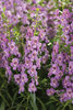 Angelface® Steel Blue - Summer Snapdragon - Angelonia hybrid