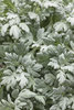 Silver Bullet™ (Formerly Quicksilver) - Wormwood - Artemisia stelleriana