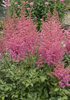 'Rise and Shine' - Astilbe hybrid