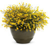 Bangle® - Dyers Greenwood - Genista lydia