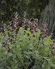 Decadence® 'Dutch Chocolate' - False Indigo - Baptisia hybrid