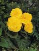 Nonstop® Yellow - Tuberous Begonia - Begonia x tuberhybrida