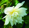 Belleconia™ Snow - Begonia hybrid
