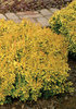 Sunjoy® Gold Beret - Barberry - Berberis thunbergii