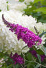 'Miss Ruby' - Butterfly bush - Buddleia x