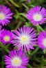 Button Up™ Violet - Trailing Iceplant - Delosperma hybrid