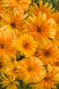 Lady Godiva™ Orange - English Marigold - Calendula hybrid