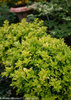 Pharos Gold™ - Blue Holly - Ilex x meserveae