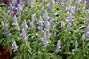 Cathedral™ Sky Blue - Salvia farinacea