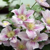 'Little Duckling' - Queen of the Vines - Clematis