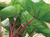 Royal Hawaiian® Hawaiian Punch - Elephant's Ear - Colocasia esculenta