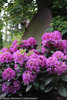 Dandy Man™ Purple - Rhododendron x