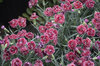 Fruit Punch® 'Black Cherry Frost' - Pinks - Dianthus hybrid