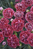 Fruit Punch® 'Cherry Vanilla' - Pinks - Dianthus hybrid