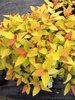 Double Play® Candy Corn™ - Spirea - Spiraea japonica