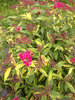 Double Play® Painted Lady® - Spirea - Spiraea japonica