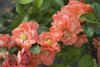 Double Take Peach™ - Quince - Chaenomeles speciosa