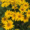 Tuscan Gold™ - False Sunflower - Heliopsis hybrid