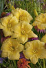 Rainbow Rhythm® 'Going Bananas' - Daylily - Hemerocallis hybrid