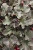 Dolce® Brazen Raisin™ - Coral Bells - Heuchera hybrid
