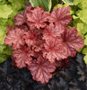 Primo™ Peachberry Ice - Coral Bells - Heuchera hybrid