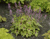 Fun and Games® 'Eye Spy' - Foamy Bells - Heucherella hybrid