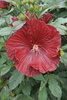 Summerific® 'Cranberry Crush' - Rose Mallow - Hibiscus hybrid