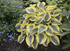 Shadowland® 'Autumn Frost' - Hosta hybrid