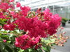 Infinitini Watermelon® - Crapemyrtle - Lagerstroemia indica