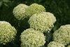 Invincibelle Limetta® - Smooth hydrangea - Hydrangea arborescens
