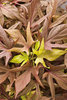 Illusion® Garnet Lace - Sweet Potato Vine - Ipomoea batatas