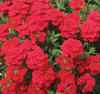 Lanai® Dark Red - Verbena