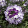 Lanai® Twister Purple - Verbena hybrid