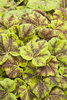 Fun and Games® 'Leapfrog' - Foamy Bells - Heucherella hybrid