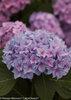 Let's Dance® Rhythmic Blue™ - Reblooming Hydrangea - Hydrangea macrophylla