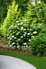 Lime Rickey® - Smooth hydrangea - Hydrangea arborescens