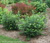 Low Scape® Hedger - Aronia melanocarpa