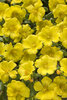 Mojave® Yellow - Purslane - Portulaca umbraticola