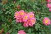 Oso Easy® Double Pink - Landscape Rose - Rosa x